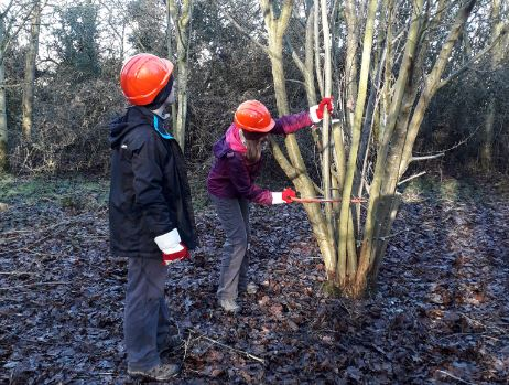 Two volunteers coppicing