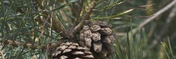Pine cones on a conifer