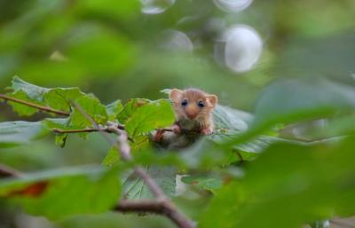 Dormouse peeking through leaves