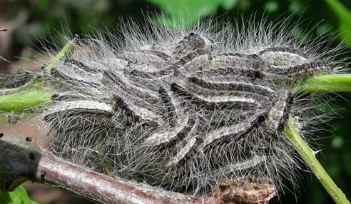 Oak processionary moth caterpillars