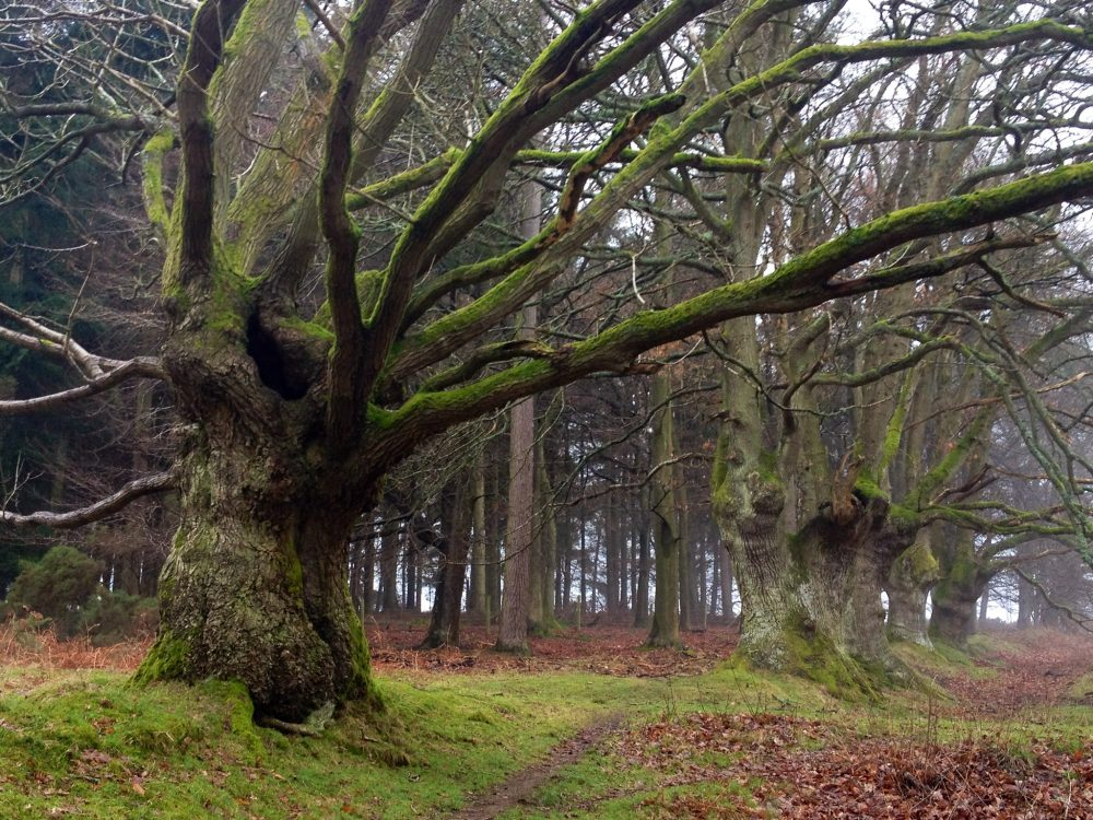 Ancient trees in woodland setting