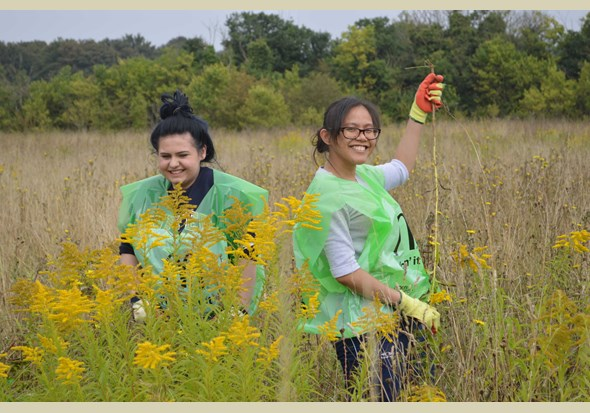 Volunteers pulling up goldenrod