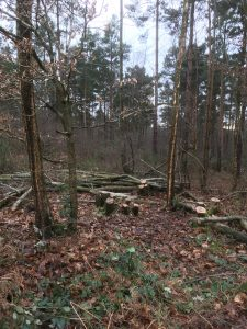 Coppicing at Brede High Woods