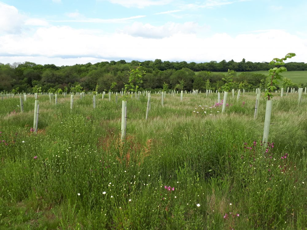 Picture of trees planted at Langley Vale Wood