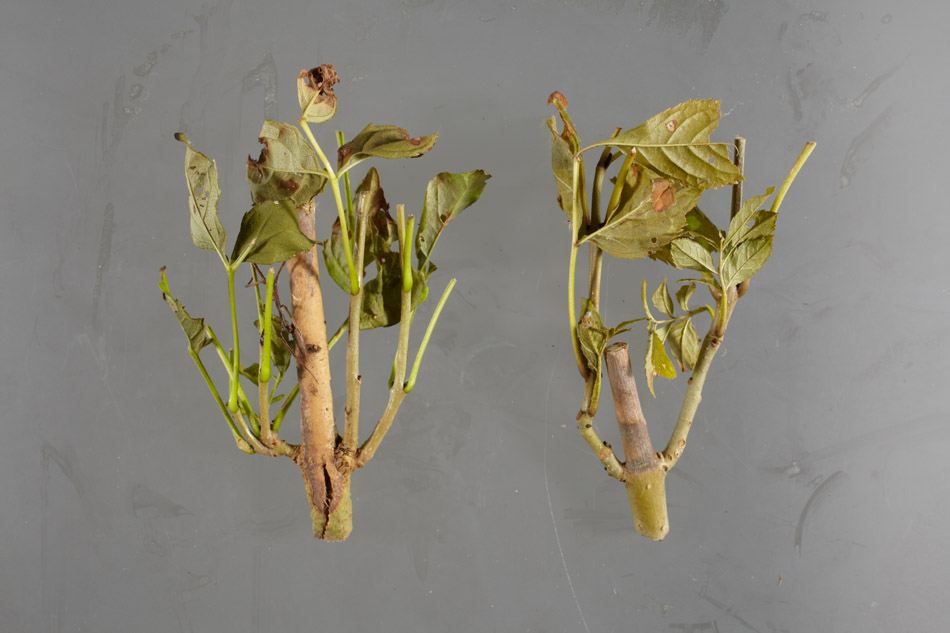 Twigs and leaves with chalara ash die back, showing the symtoms
