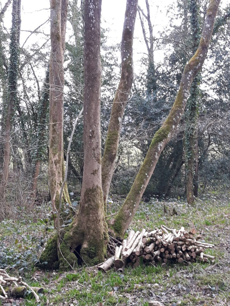 Coppicing at Butcher's Wood