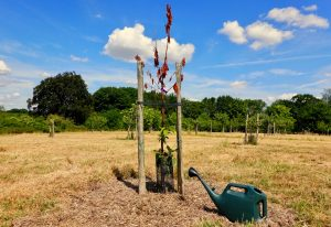 Fruit tree and watering can at Hucking Estate
