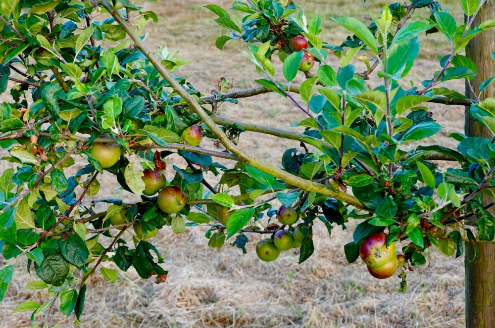 Apples on tree at Hucking Orchard