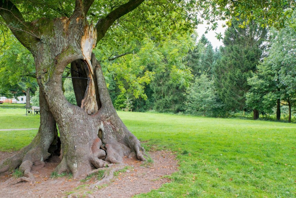 Knoll Park Hollow Oak Welsh Tree of the Year 2017