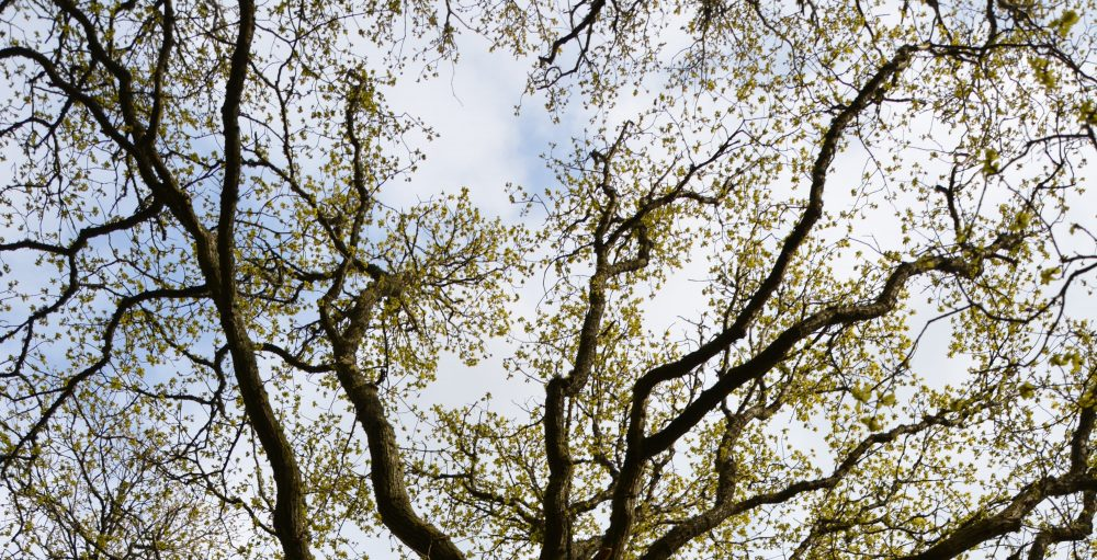 Looking up at an oak on Loch Lomondside in spring