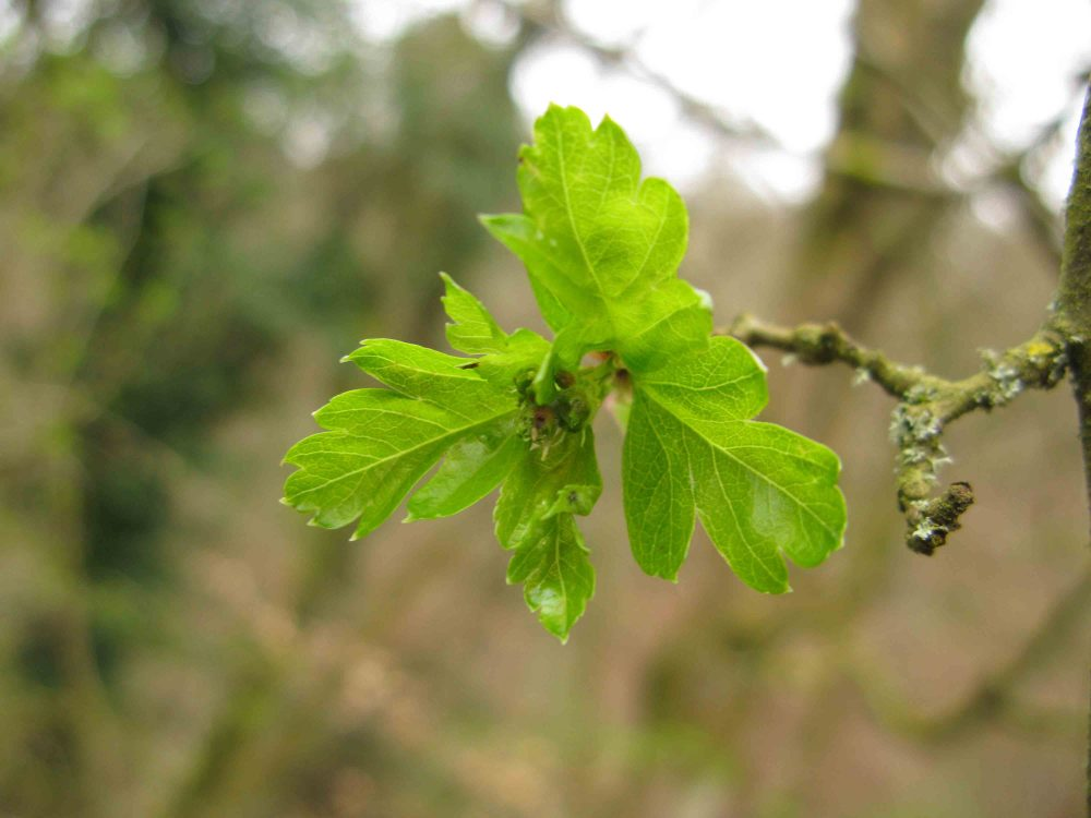 Fresh hawthorn leaves just opened