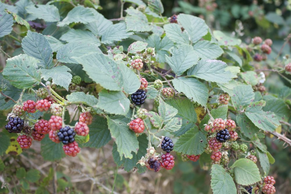 A bramble shrub with a few ripe blackberries