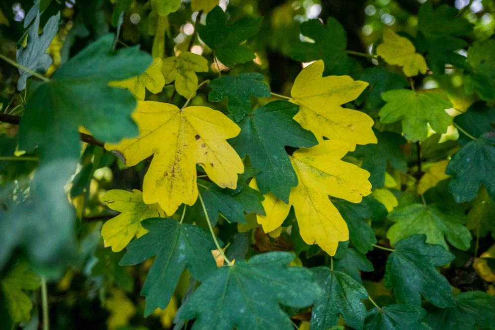 Gold and green field maple leaves in autumn