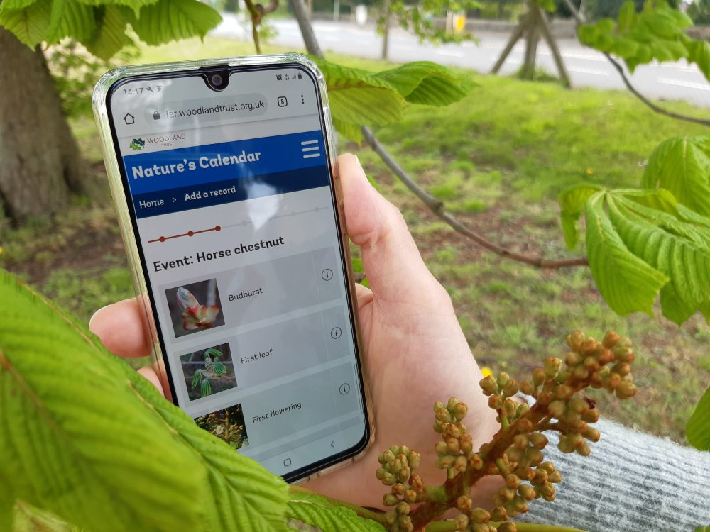Volunteer holding phone using Nature's Calendar website to record tree leaves
